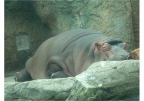 寝てるカバ