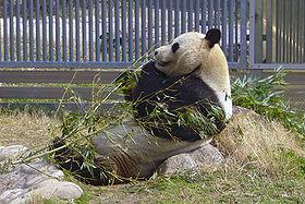 王子動物園のパンダ・コウコウ