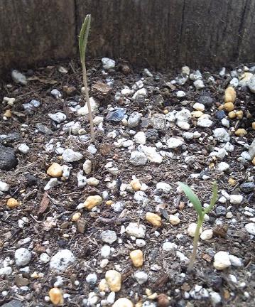 コスモスの芽