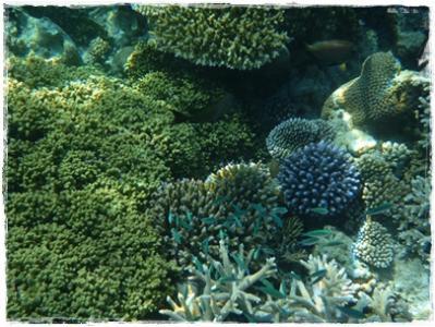 リアル珊瑚