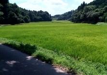 ricefield1.jpg