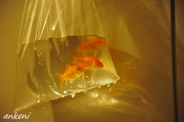 186  金魚
