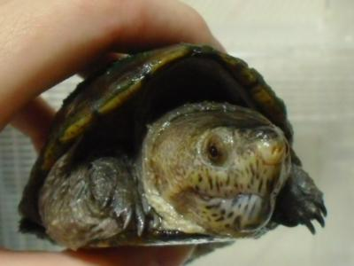 Florida Mud Turtle1