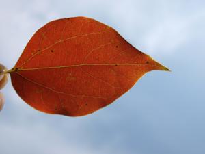赤い葉とそら