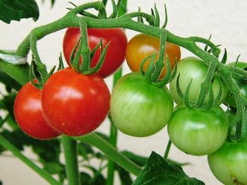 tomato31.jpg
