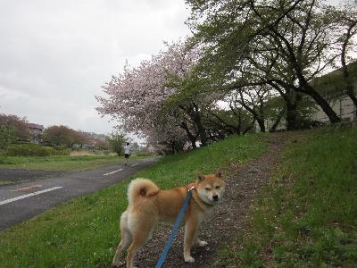 2011八重ザクラ2