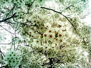 hanami お花見