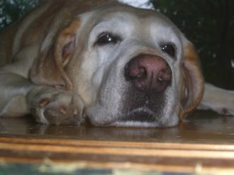 疲れた老犬