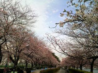 090403_sakura4.jpg