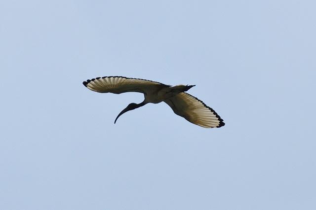 關渡平原の野鳥(5)