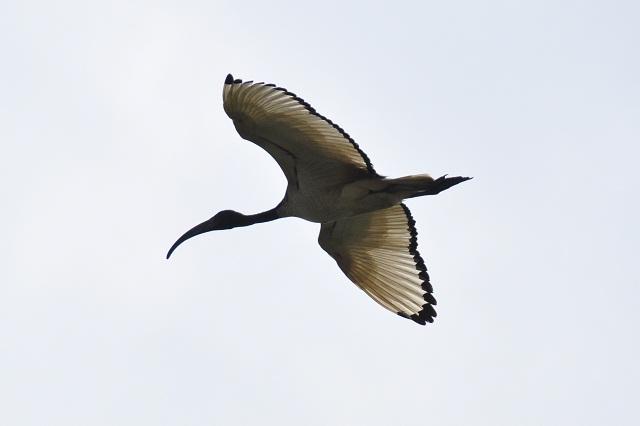 關渡平原の野鳥(6)