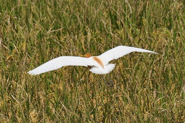 關渡平原の野鳥(3)