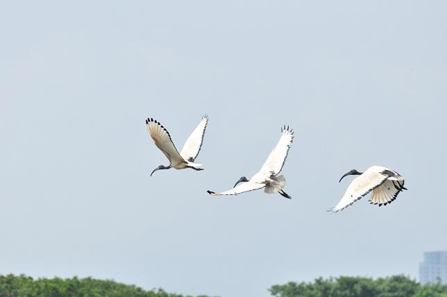 關渡平原の野鳥(4)
