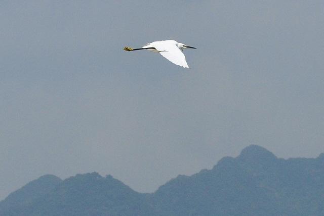 關渡平原の野鳥(1)