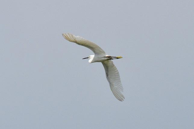 關渡平原の野鳥(2)