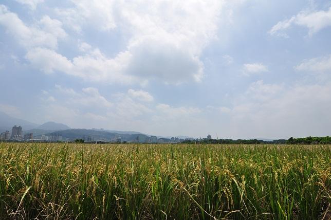 關渡平原の田園風景(2)