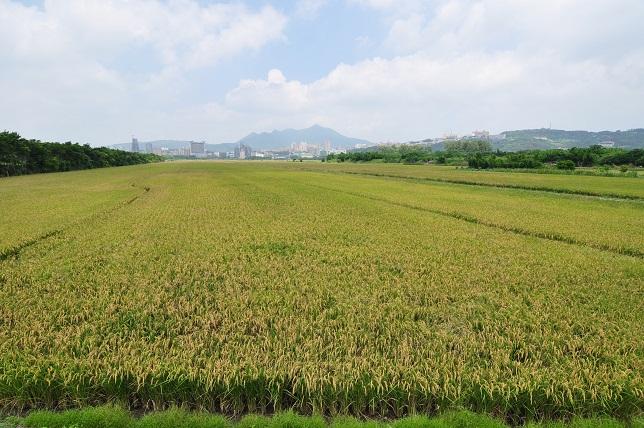 關渡平原の田園風景(1)