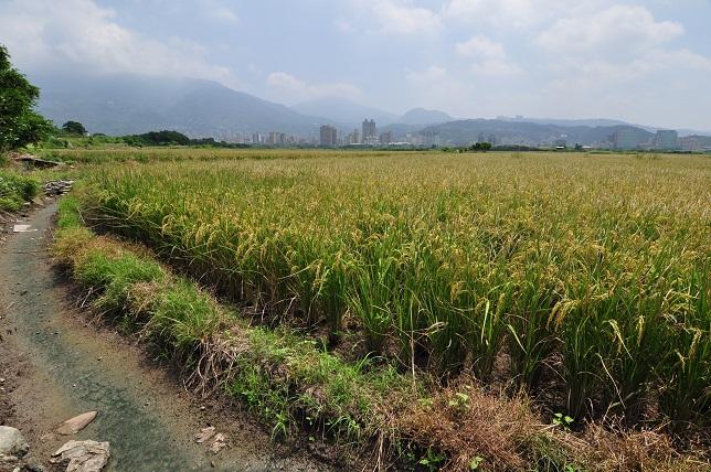 關渡平原の田園風景(5)