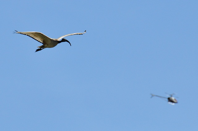關渡平原の野鳥たち(5)