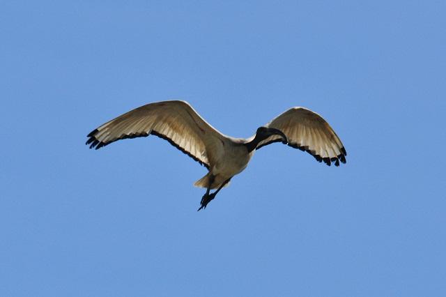 關渡平原の野鳥たち(4)
