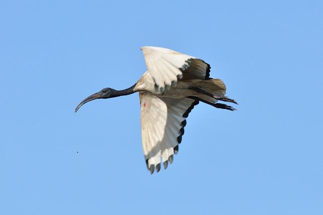 關渡平原の野鳥たち(3)
