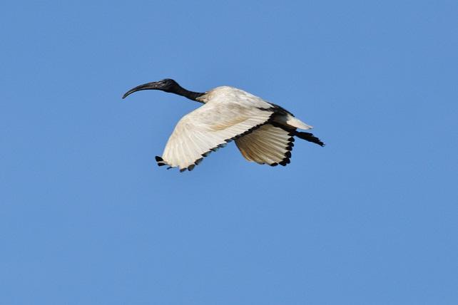 關渡平原の野鳥たち(2)