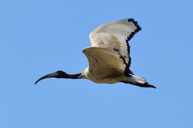 關渡平原の野鳥たち(1)