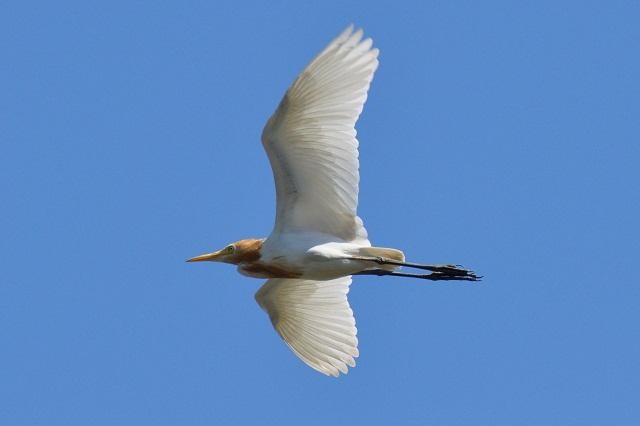 サギの飛翔シーン(2)