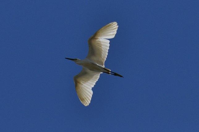 サギの飛翔シーン(3)