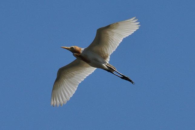 サギの飛翔シーン(1)