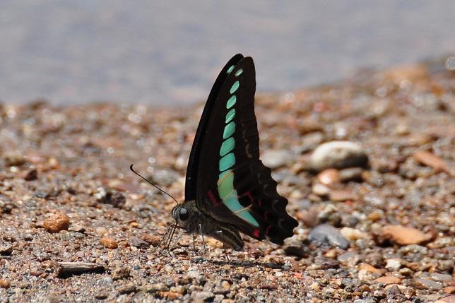 外雙溪の蝶(2)