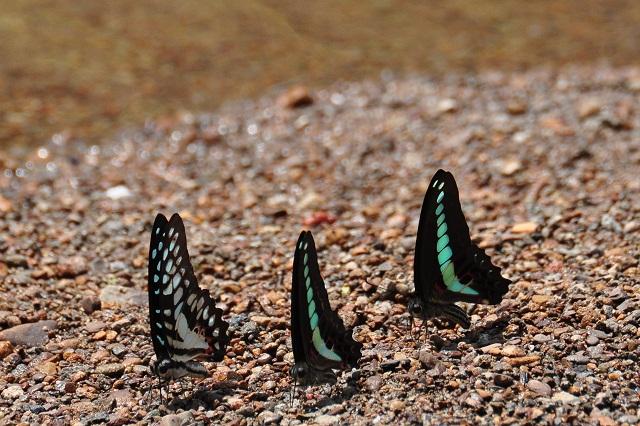 外雙溪の蝶(1)