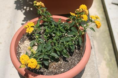 黄色い花6.17