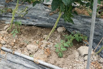 トマト定植7.6