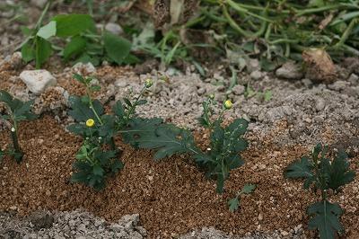 黄色の菊1
