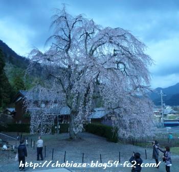 妙祐寺の枝垂れ桜
