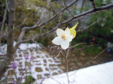 エゴノキの花*