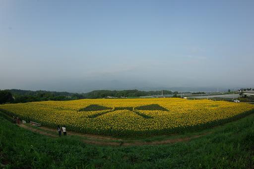 110813-06sun flower1