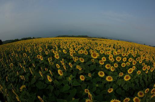 110813-07sun flower2