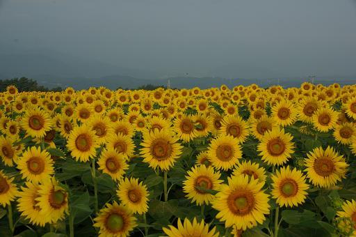 110813-10sun flower3