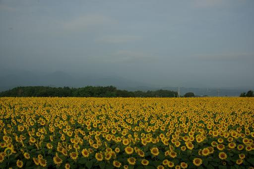 110813-13sun flower4