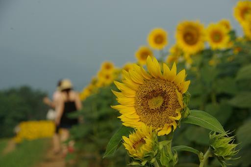 110813-14sun flower5