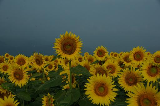 110813-15sun flower7