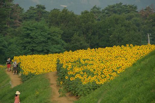110813-16sun flower6