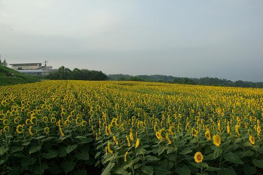110813-17sun flower