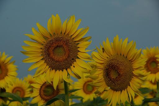 110813-18sun flower2