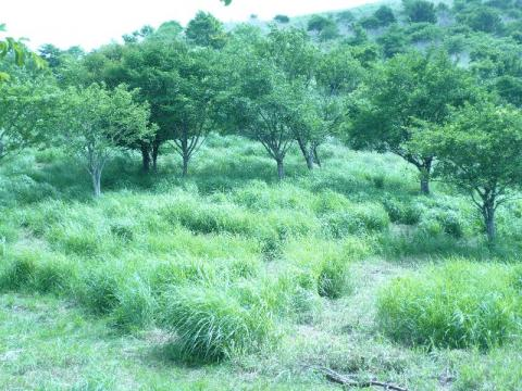 ヒオウギ植栽