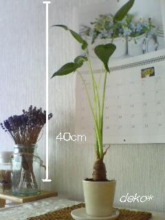 ダイソー クワズイモ 2011.7.31