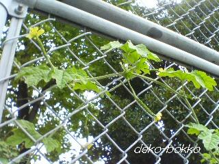 雌花ばかり。。。2011.8.2