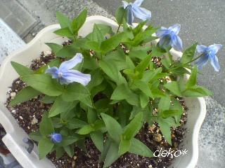 ブルーベル 花 2011.8.7